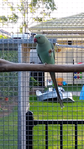 Emerald Indian Ringneck Clearview Port Adelaide Area Preview