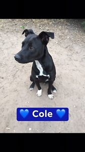 Cole 2yr old med mixed breed male Ipswich Ipswich City Preview