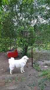 House and dog sitter required GLENWOOD  SE QLD Darlinghurst Inner Sydney Preview