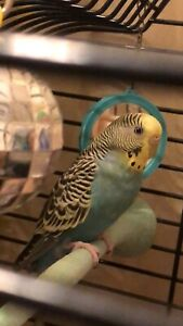 ISO free budgie and cage