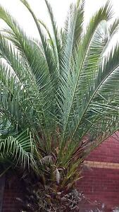 Two Palm Trees for Sale Narre Warren South Casey Area Preview