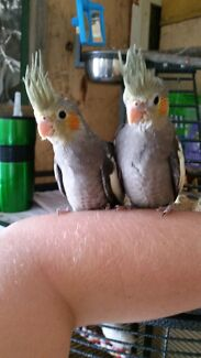 Cockatiels for sale!!! Kingston South Canberra Preview