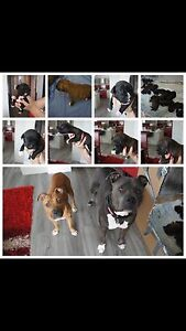 Staffy puppy for sale Erskine Park Penrith Area Preview