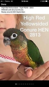 Conure Mutations Available Now!!!! North Tivoli Ipswich City Preview