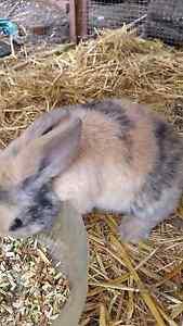 Harlequin mini lop boy Hackham West Morphett Vale Area Preview
