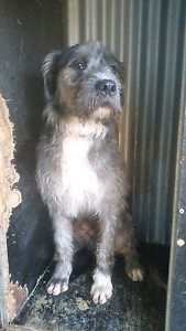 Wolfhound / mastiff Wagga Wagga Wagga Wagga City Preview