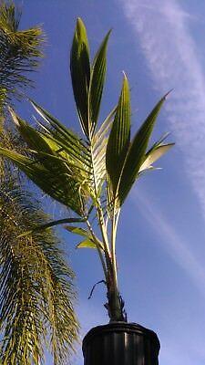 Coconut Palm Tree 6 Foot Tall