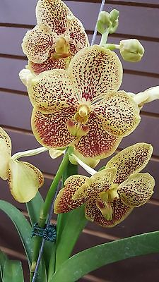 Vanda   V  Sanchi Gold Spot    South Florida Grown