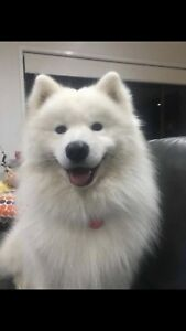 Samoyed Dogs Puppies Gumtree Australia Free Local Classifieds