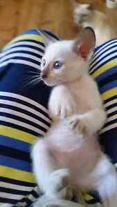 Lilac point male siamese - last of the litter Newcastle Newcastle Area Preview