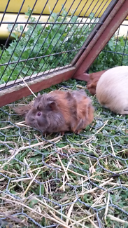 Guinea pig $15 ea or 2  lawn mowers..