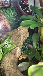 1.5 year male Mossy Leaf tailed gecko for Trade for ball python