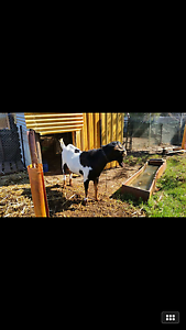 Want to sell my goat Cardup Serpentine Area Preview