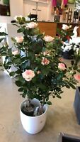 Rose Bush (Wedding Rental)