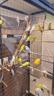 BUDGIES FOR SALE ENGLISH BRED AND CLUB RUNG