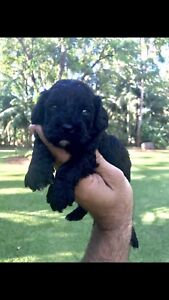 Cavoodle Puppy (Registered Breeders)