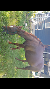11yr old qh x chestnut mare Tully Cassowary Coast Preview