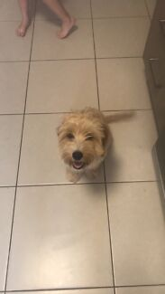 Mini fox terrier x spoodle pup
