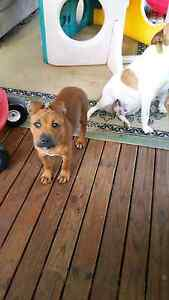 14 weeks old American Staffy purebred Lalor Park Blacktown Area Preview