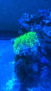 Green star polyp coral sur roche