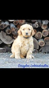 Multi generational labradoodle puppies Ready now South Maclean Logan Area Preview