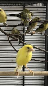 Female Raza Canary