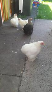 4 x Pekin Bantam Hens - around 7 months old Newport Hobsons Bay Area Preview