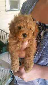 WTB male red toy poodle Weston Cessnock Area Preview