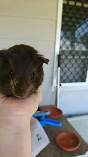 Baby female Guinea pig. Chocolate and caramel.