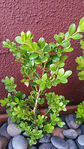 Buxus plant Fairfield Fairfield Area Preview