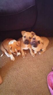 1 Male American Staffy Pup Left! Lisarow Gosford Area Preview