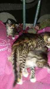 Cute kittens Leda Kwinana Area Preview
