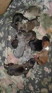 Staffy Pups Mothar Mountain Gympie Area Preview