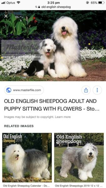 Old English sheep dog or sheepadoodle puppies | Dogs