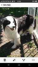 Pure bred Border Collie Windsor Hawkesbury Area Preview