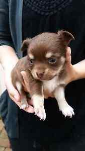 Chihuahua pups Yarra Glen Yarra Ranges Preview