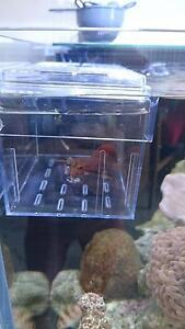 Saltwater mantis shrimp 350 Dapto Wollongong Area Preview