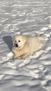 Registered Great Pyrenees