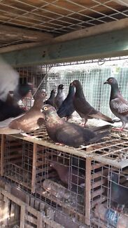 Baby racers egyptian swift pigeons healthy birds Silverwater Auburn Area Preview