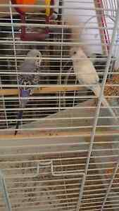 Two baby budgies for sale Wollongong Wollongong Area Preview