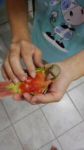 Handraised baby pineapple( high red ) green cheek conure for sale Eatons Hill Pine Rivers Area Preview
