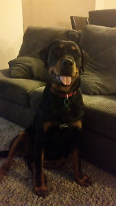 Beautiful 8month rottweiler girl Byford Serpentine Area Preview
