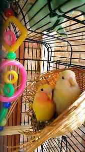 A pair of lovebird Winthrop Melville Area Preview