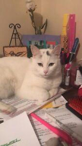 Missing white cat