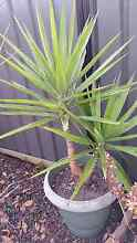 Beautiful 2 Headed Yucca Plant Hoppers Crossing Wyndham Area Preview