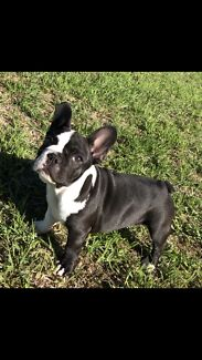 French bulldog pedigree pup (blue carrier)