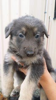 German Shepherd puppys Barney Point Gladstone City Preview