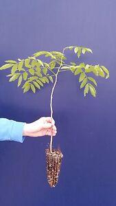 FLORIBUNDA-DE-WISTERIA-viola-alv-Glicinas-VIOLA-planta-Japones-purple-w-Planta