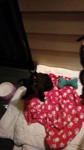 $100 10 wk old female pup small/ medium breed Boyne Island Gladstone City Preview