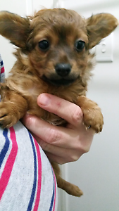 Chihuahua female  pup Rooty Hill Blacktown Area Preview